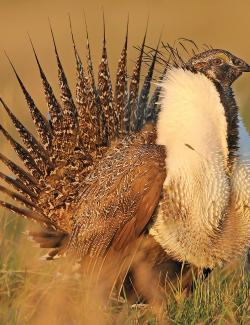 Sage grouse male displaying