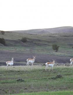 Pronghorn group