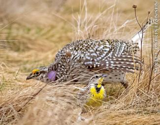 Sharp-tailed grouse and meadowlark