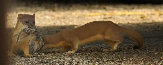 Long-tailed Weasel Juveniles