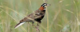 Chestnut-collared Longspur Male