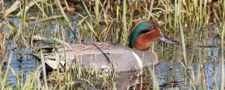 Green-winged Teal Male