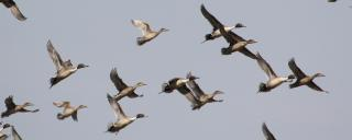 Pintail Group