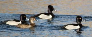 Ring-necked Duck Group