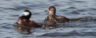 Ruddy Duck Pair