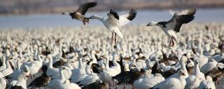 Lesser Snow Goose (and Ross' Goose)