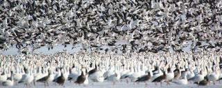 Light geese flock during spring migration