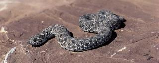 Plains Hog-nosed Snake