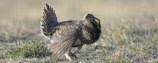 Sharp-tailed grouse/sage grouse hybrid displaying