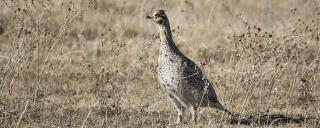Sharp-tailed Grouse Hunting