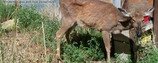 Deer sick with CWD