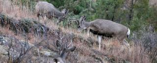 Mule deer youngsters sparring