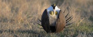 Greater sage grouse male displaying