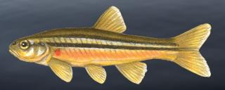 Northern redbelly dace illustration