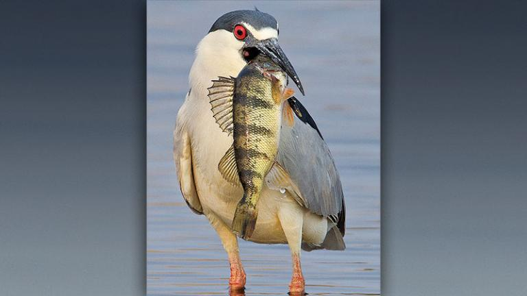 Night heron with fish by Dale Rehder