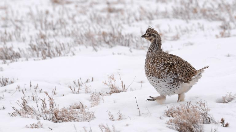 Sharp-tailed grouse in snow