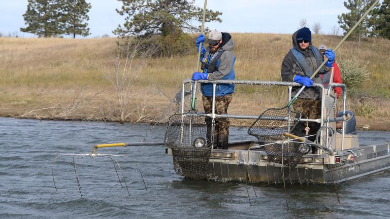 Fisheries staff collecting salmon
