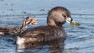 Pied billed grebe feeding chicks