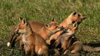 Red fox kits