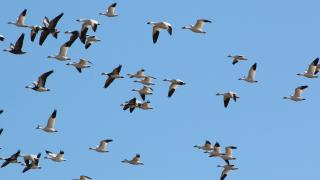 Light geese flying