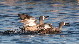blue-wing teal fighting