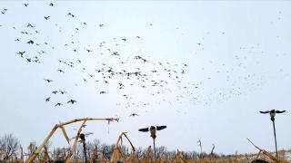 Waterfowl flying over decoys