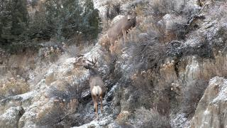 Mule deer during rut