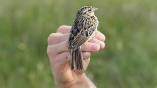 Grasshopper sparrow with transmitter backpack