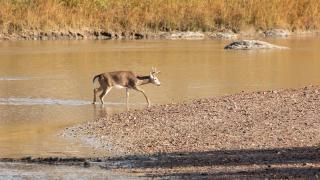 White-tail deer crossing river