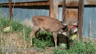 Deer with CWD