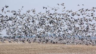 Snow goose flock in a field