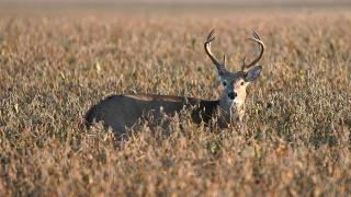 Buck in crop field